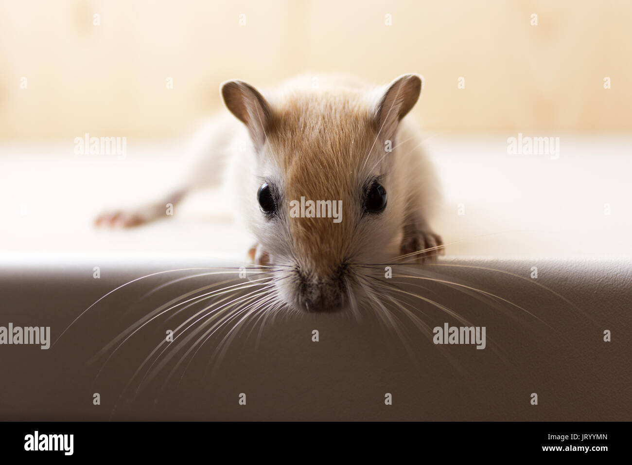 Fluffy baby of gerbil on neutral background - Stock Image