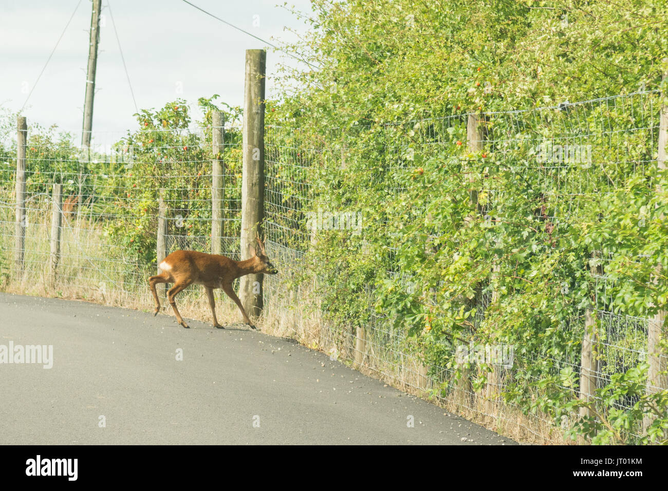 roe deer stuck on road behind deer fencing Stock Photo