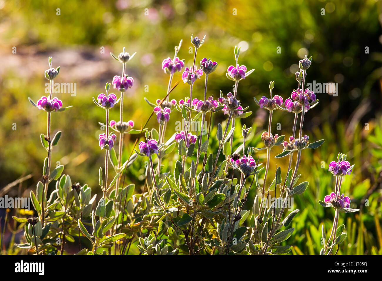Phlomis purpurea. Typical mediterranean forest plant. Andalusia, Southern Spain Europe - Stock Image
