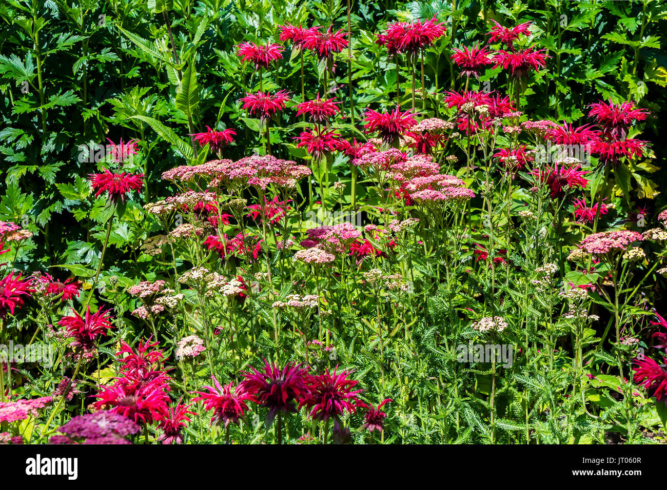 Dark Pink Monarda and Achillea flowers in a herbaceous border. - Stock Image