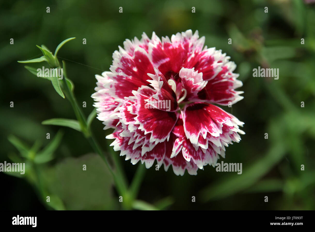 Beautiful arrangement of floral petals in white and red sectors with edge trimming - Stock Image