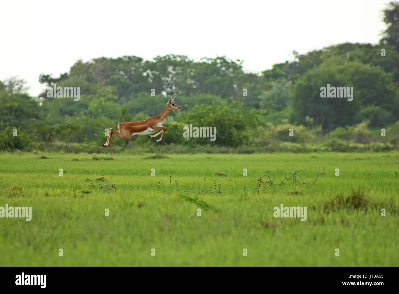 Blackbuck female jumping high in green grass - Stock Image