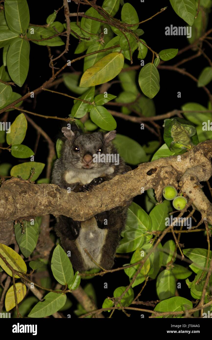 Indian Giant Flying Squirrel feeding on figs at Polo Forest, Gujarat, India - Stock Image