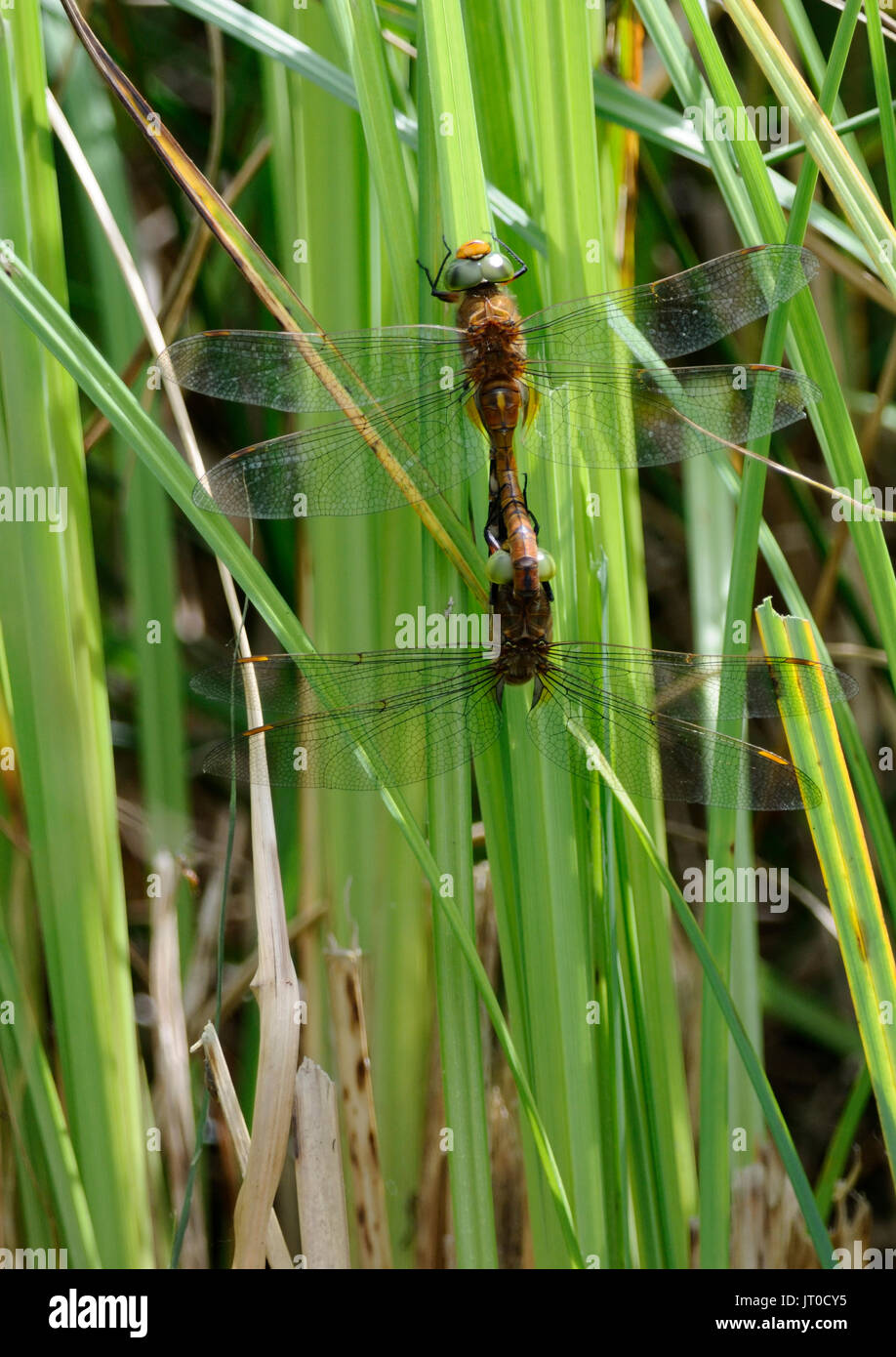 A mating pair of Norfolk hawker dragonflies ( Aeshna isosceles ) in the wheel positon - Stock Image