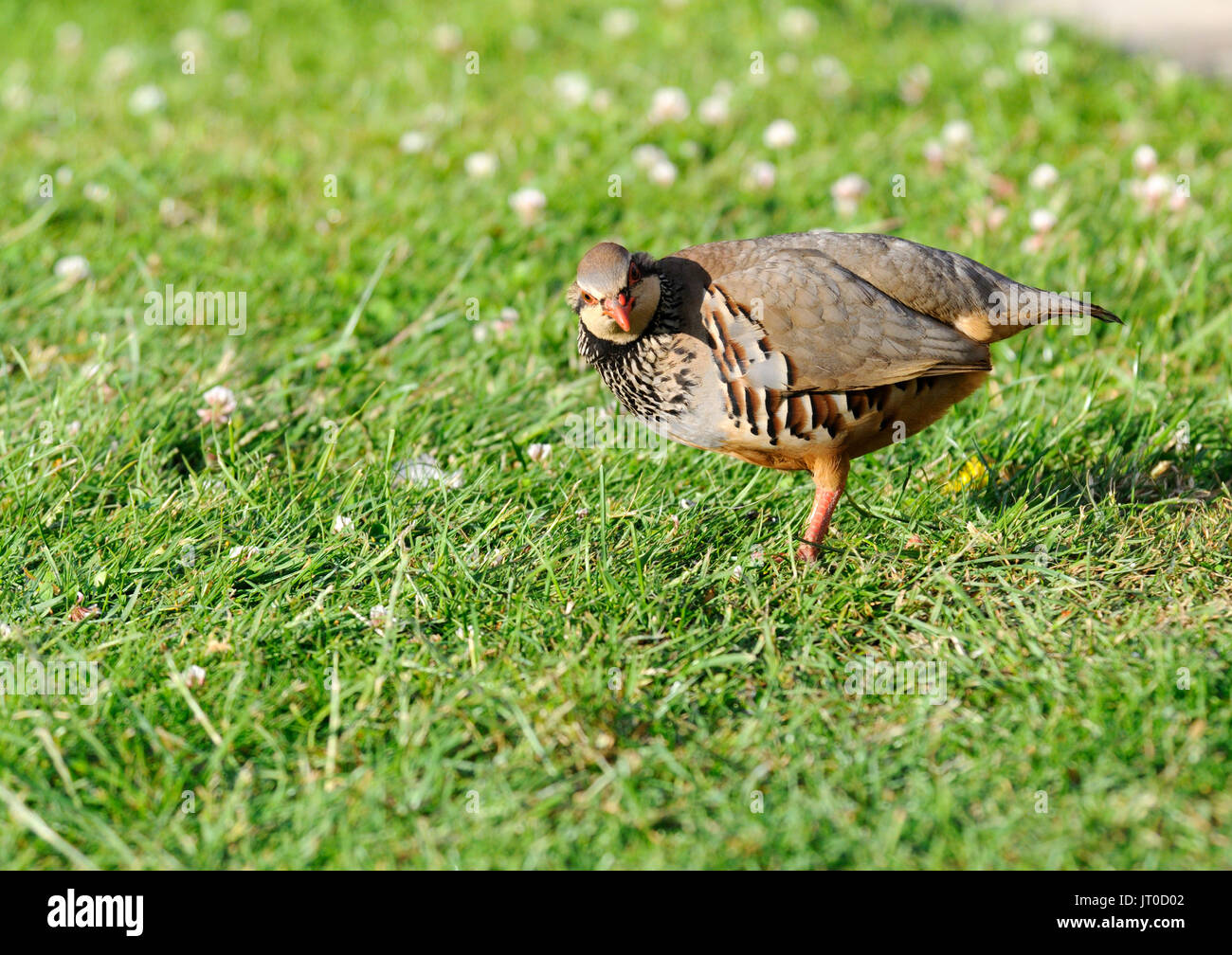 A red - legged partridge ( Alectoris rufa ) feeding on a garden lawn - Stock Image
