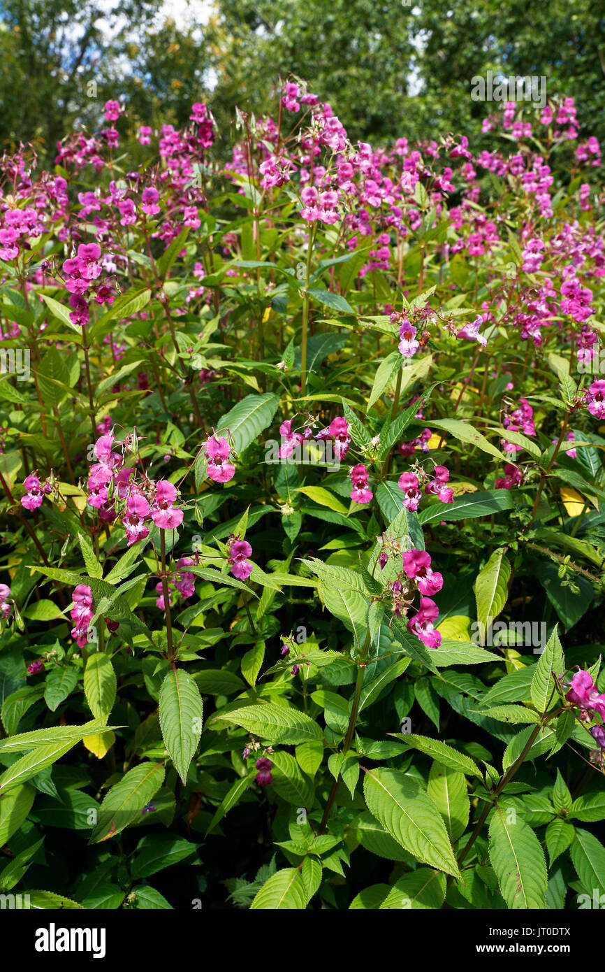 Himalayan Balsam, Impatiens glandulifera, taking over a grassy verge and choking all other natural species - Stock Image