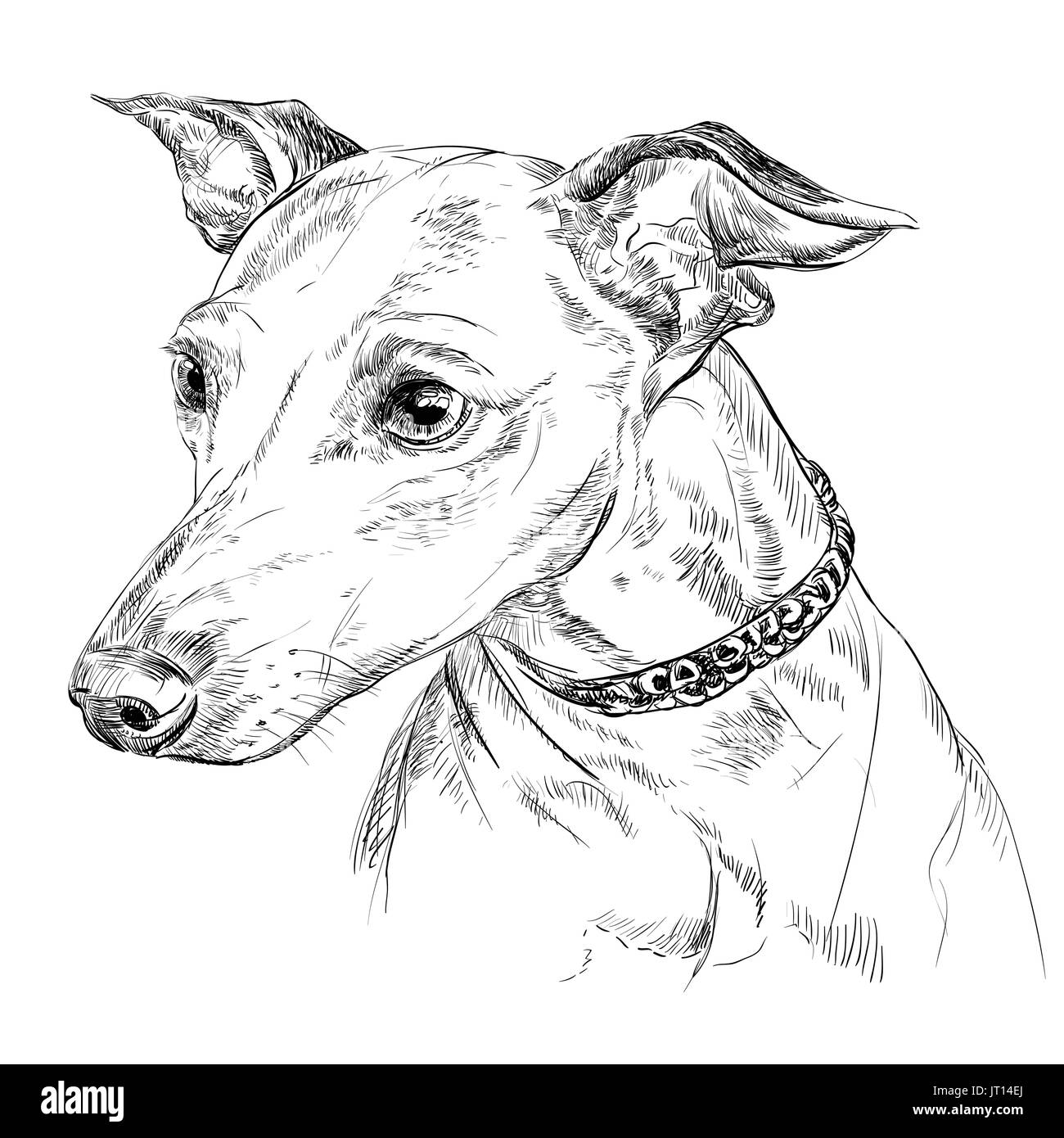 Vector outline portrait of Italian Greyhound in black color hand drawing illustration on white background - Stock Image