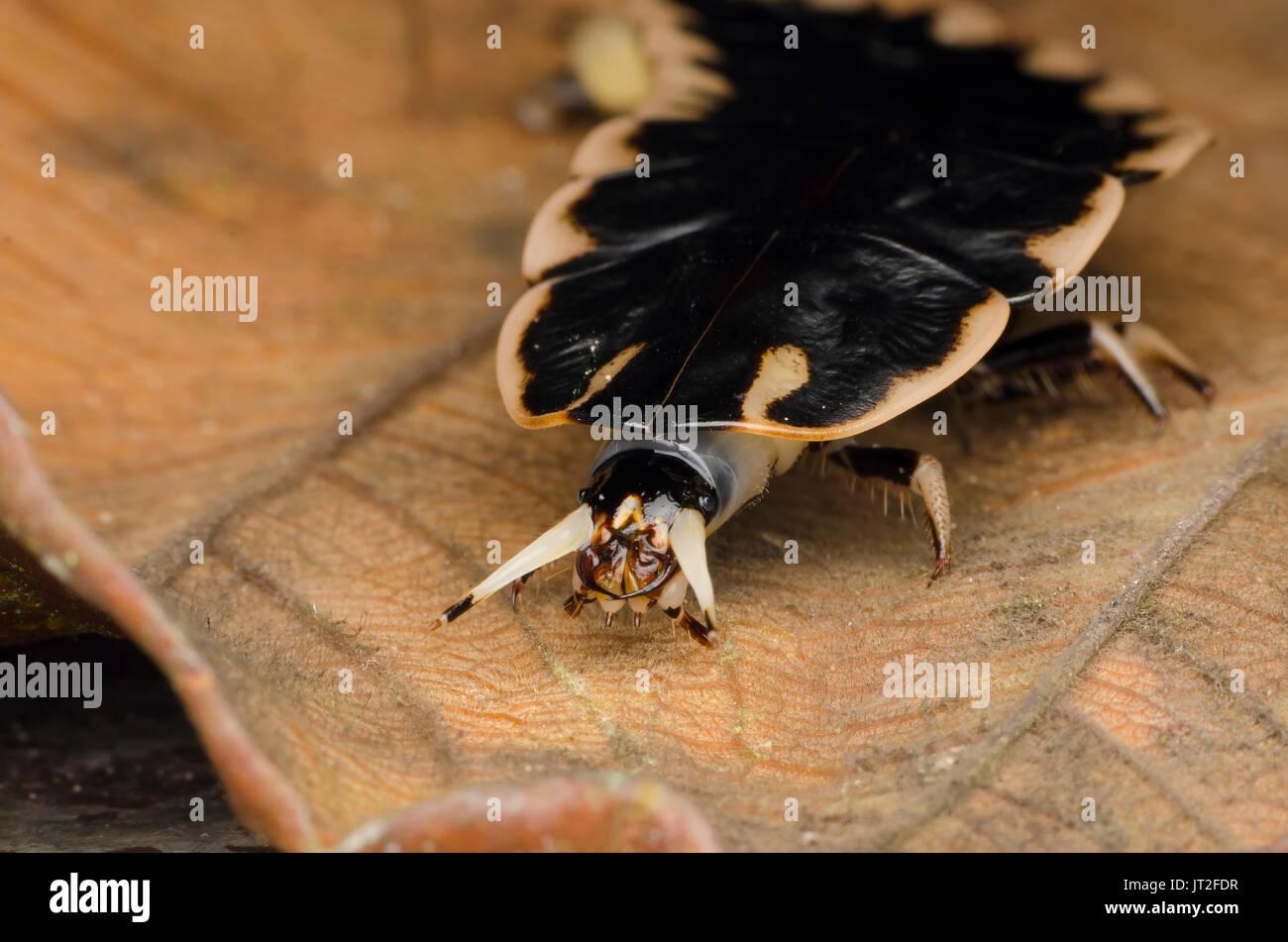 closeup firefly larvae head - Stock Image