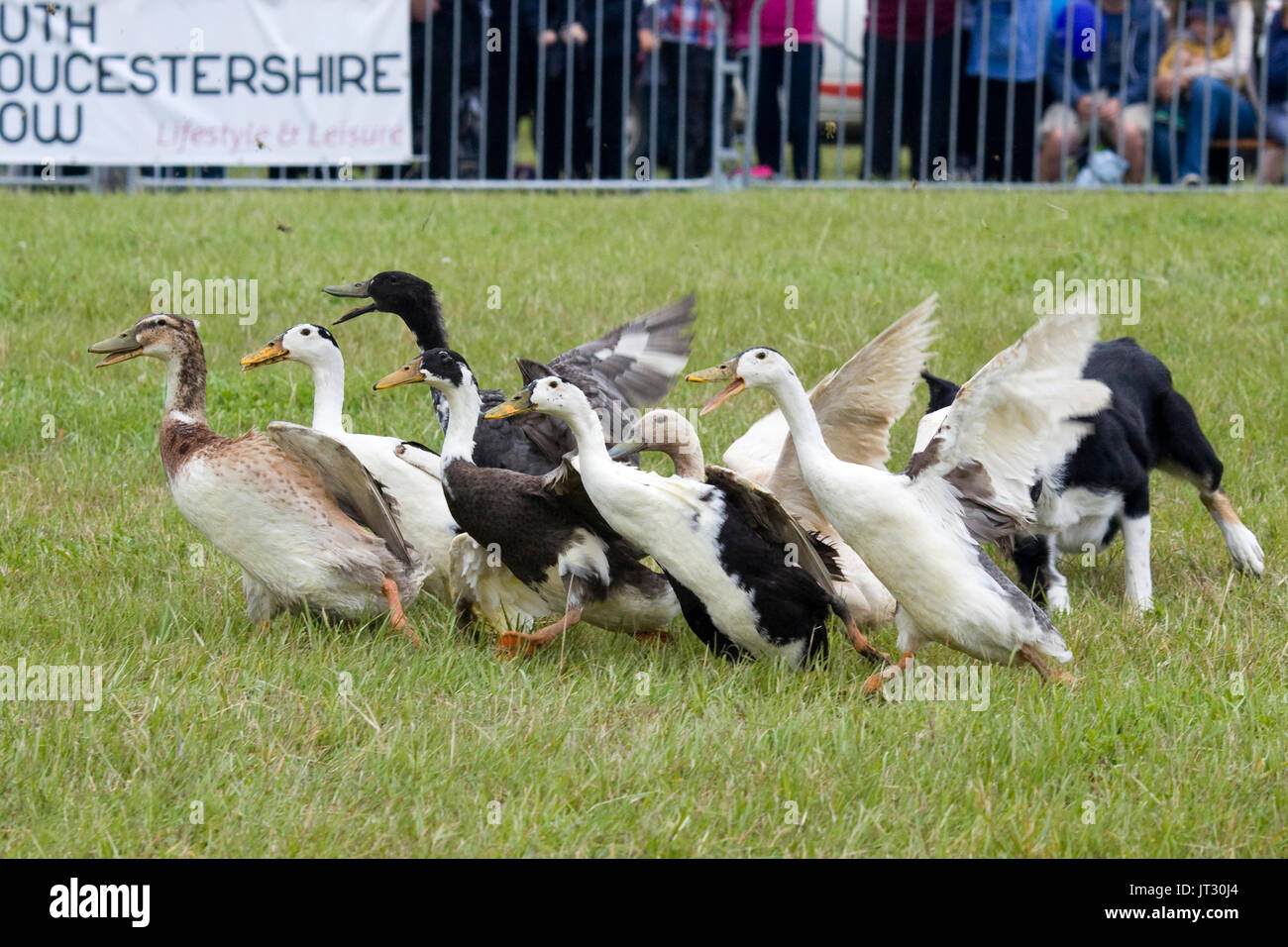 Indian Runner ducks being rounded up by a sheep dog - Stock Image