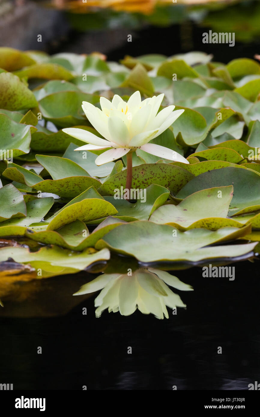 Water Lilies, Nymphaea in garden pond - Stock Image