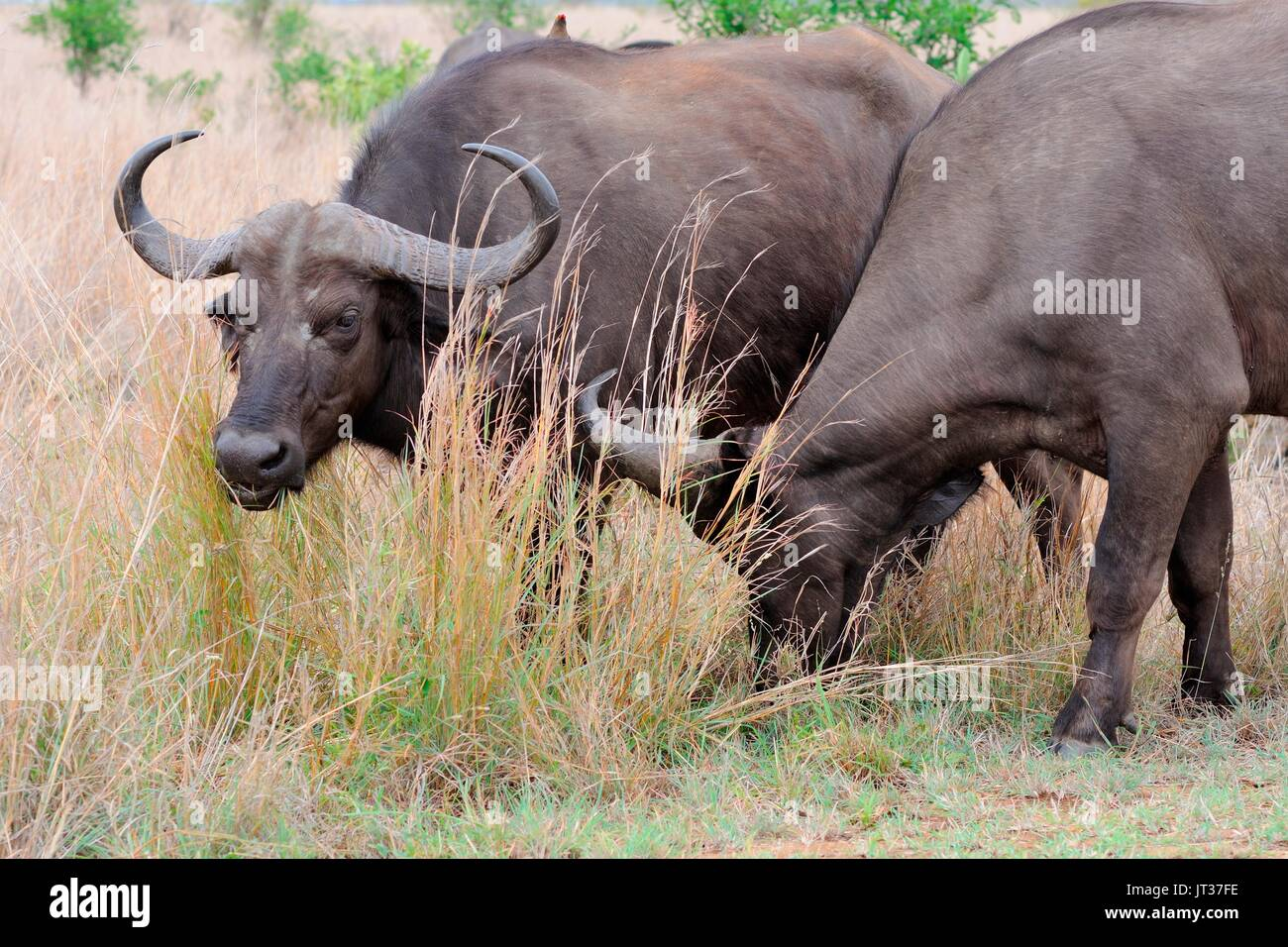 African buffaloes or Cape buffaloes (Syncerus caffer), feeding on grass, Kruger National Park, South Africa, Africa - Stock Image