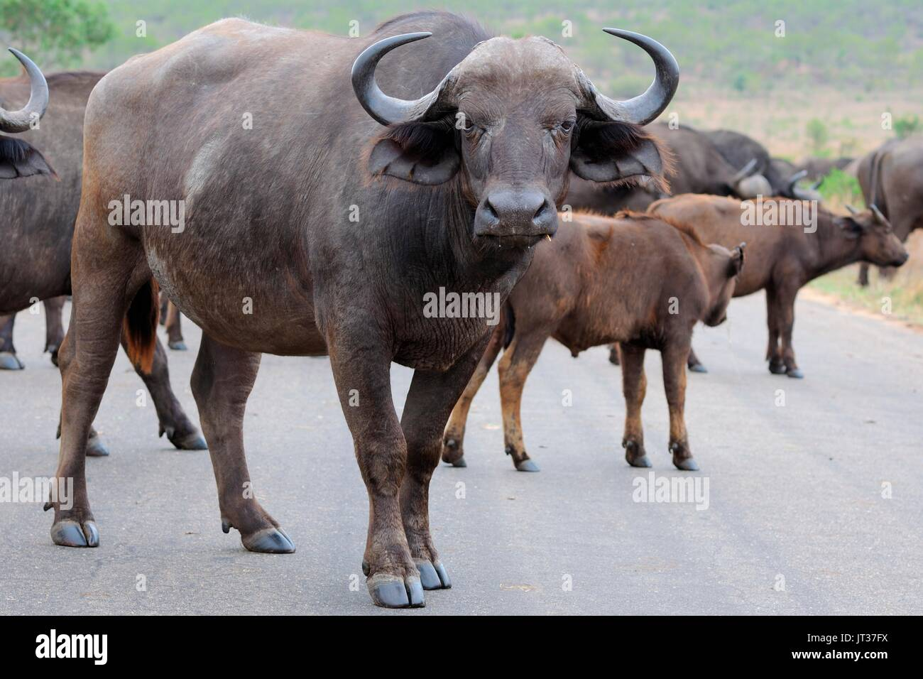 African buffaloes or Cape buffaloes (Syncerus caffer), herd crossing a paved road, Kruger National Park, South Africa, Africa - Stock Image