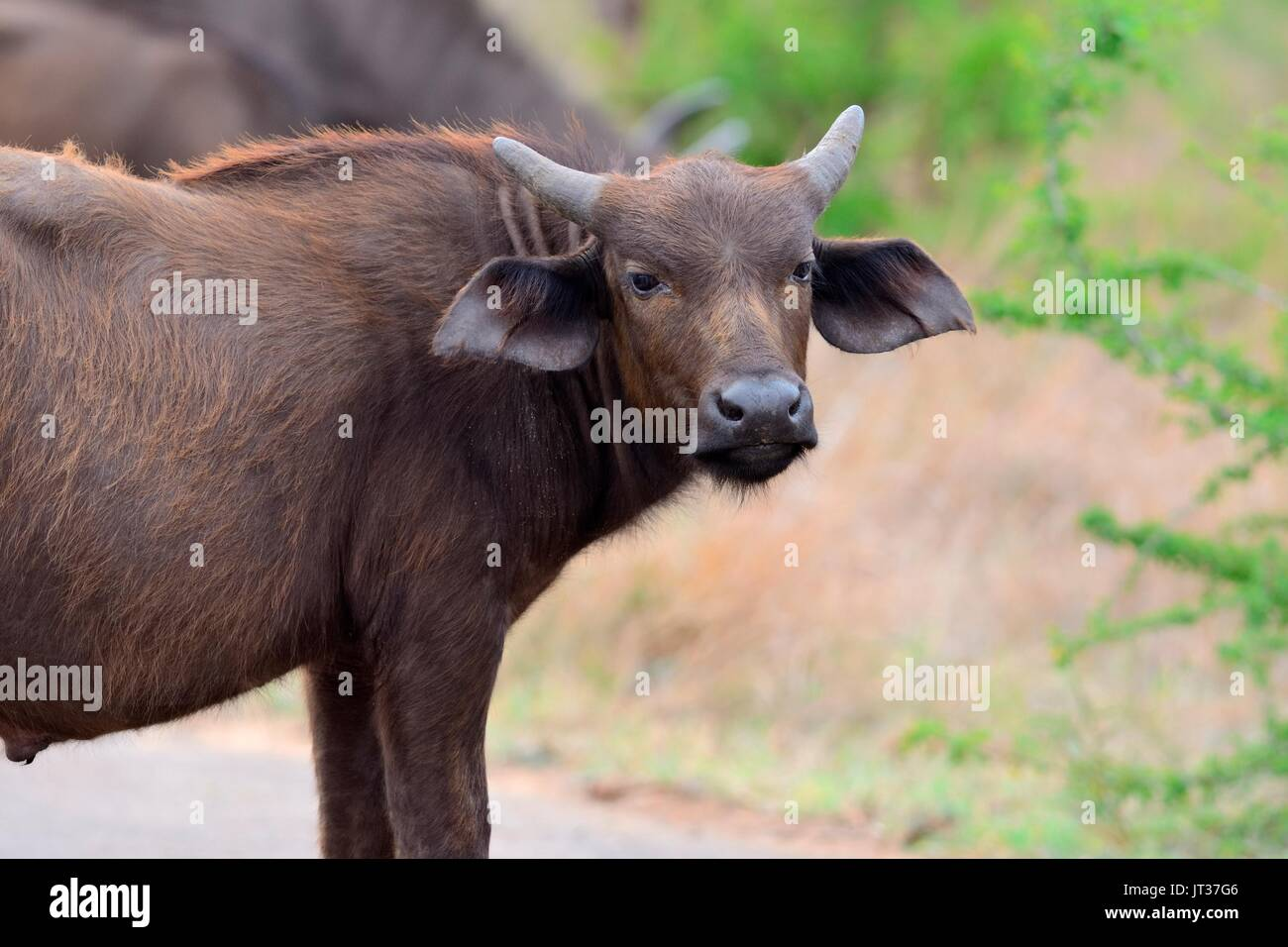 African buffalo or Cape buffalo (Syncerus caffer), young male on a paved road, Kruger National Park, South Africa, Africa - Stock Image