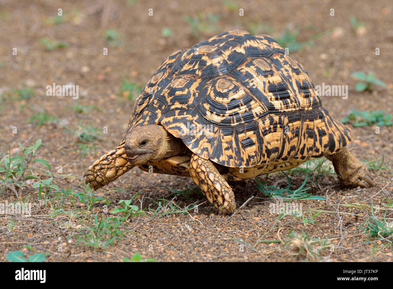 Leopard tortoise (Stigmochelys pardalis), moving, Kruger National Park, South Africa, Africa - Stock Image