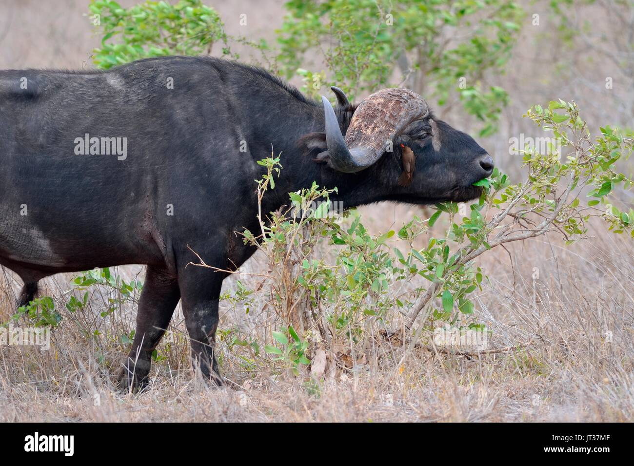 African buffalo (Syncerus caffer), bull feeding on leaves, Red-billed oxpecker on buffalo's face, Kruger National Park, South Africa, Africa - Stock Image