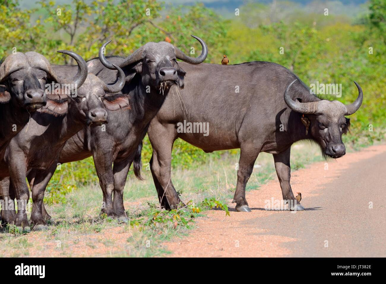 African buffaloes (Syncerus caffer) standing in row by the side of the paved road with Red-billed oxpeckers, Kruger Stock Photo