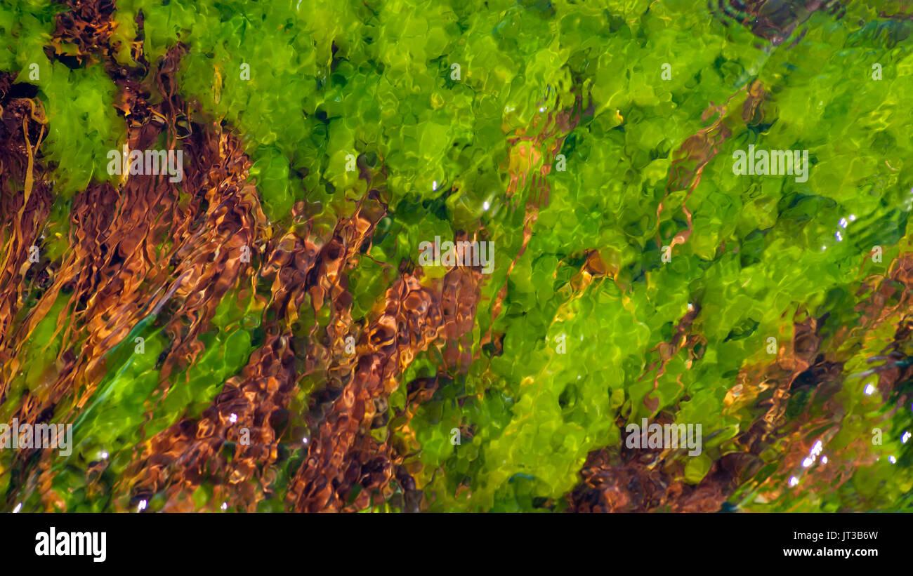 Underwater seaweeds on the coast of Cape Ann, Massachusetts - Stock Image