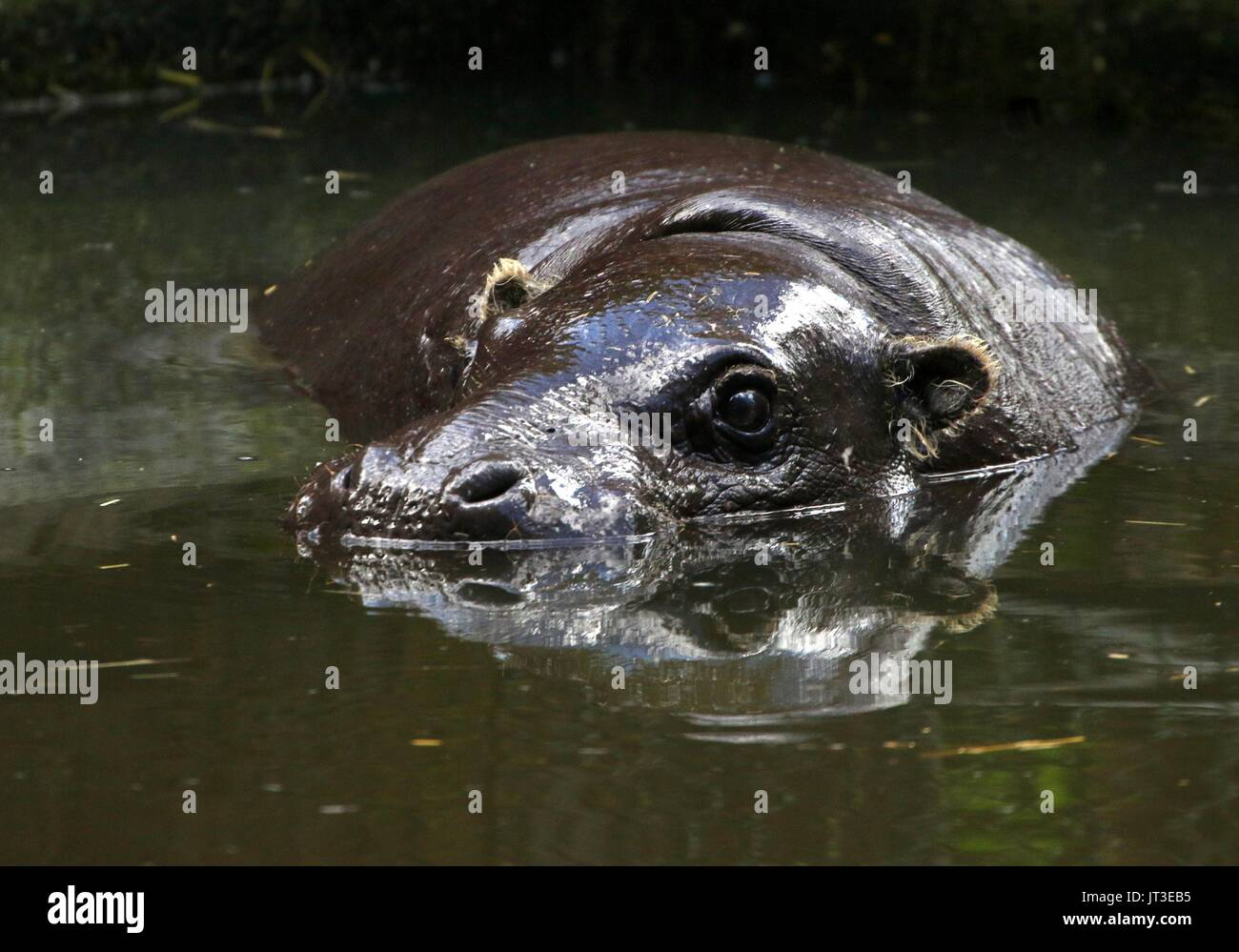 West African Pygmy hippopotamus (Hexaprotodon liberiensis, Choeropsis liberiensis) - Stock Image