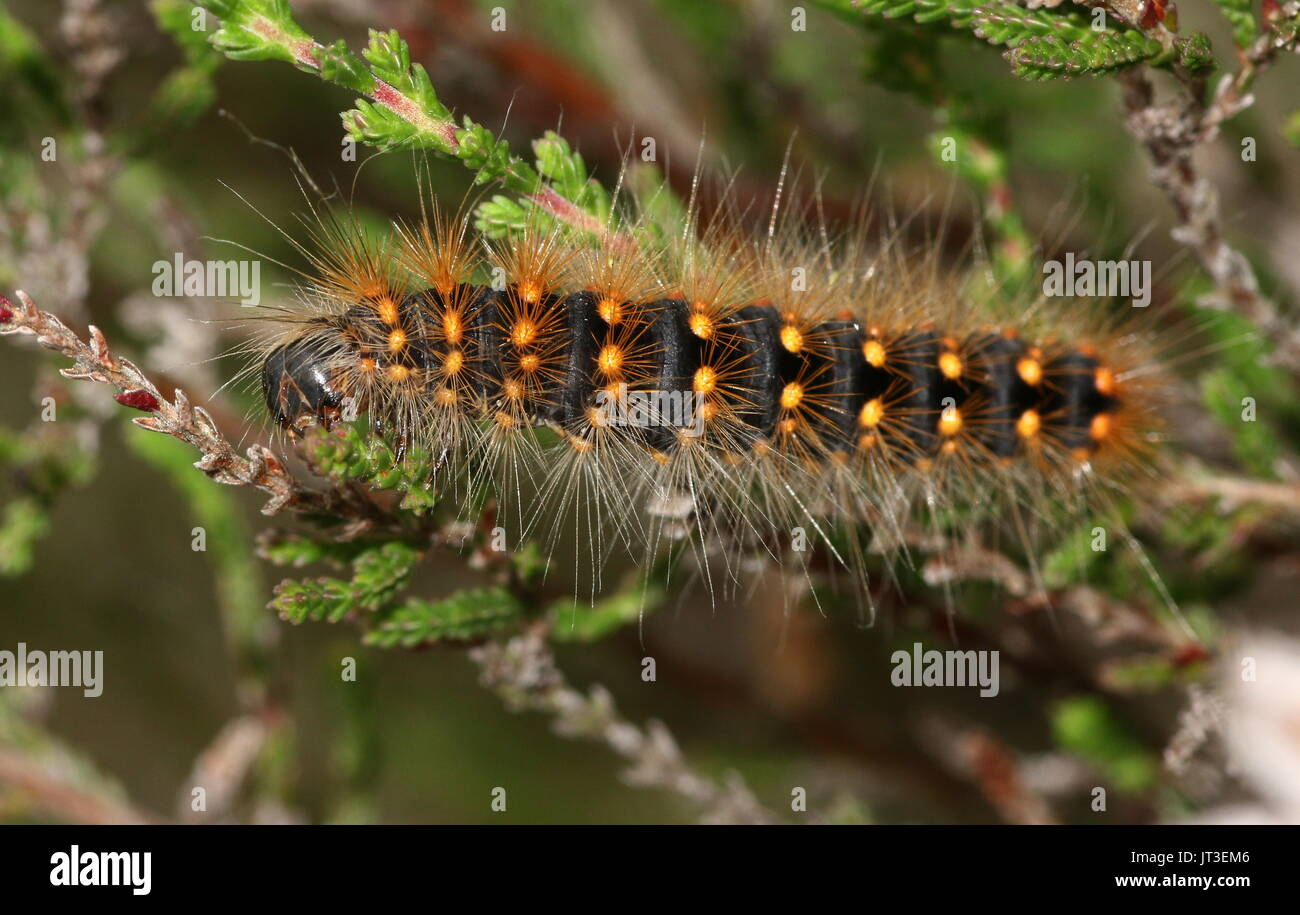 Caterpillar of the European Scarce Dagger Moth (Acronicta auricoma). - Stock Image