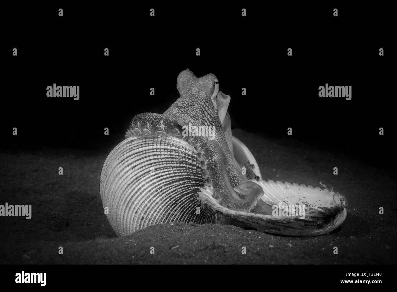 Coconut Octopus (Amphioctopus marginatus) in the Lembeh Strait - Stock Image