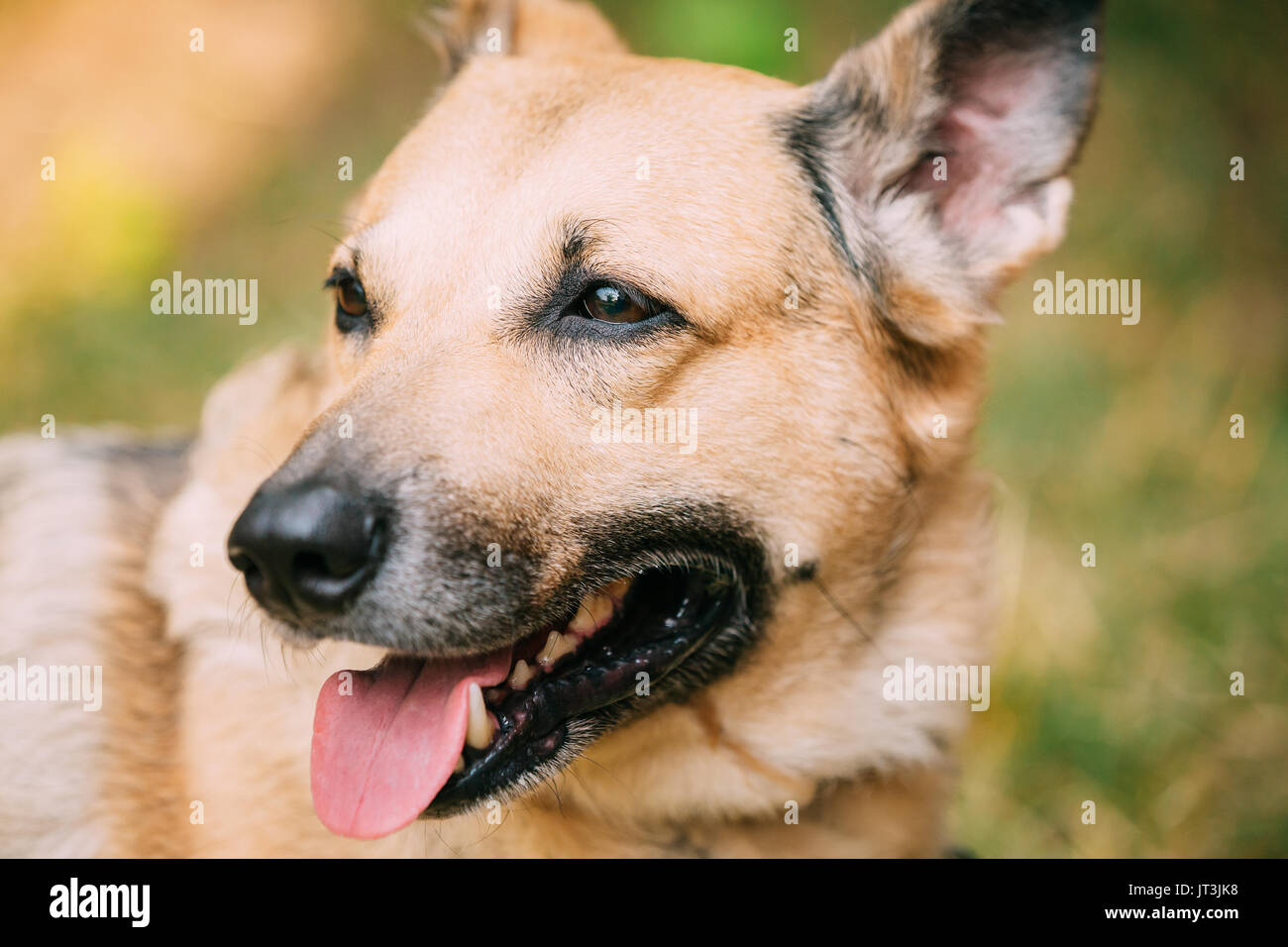 Close Up Of Medium Size Mongrel Mixed Breed Short-Haired Yellow Adult Female Dog With Tongue In Collar On Brown Stock Photo
