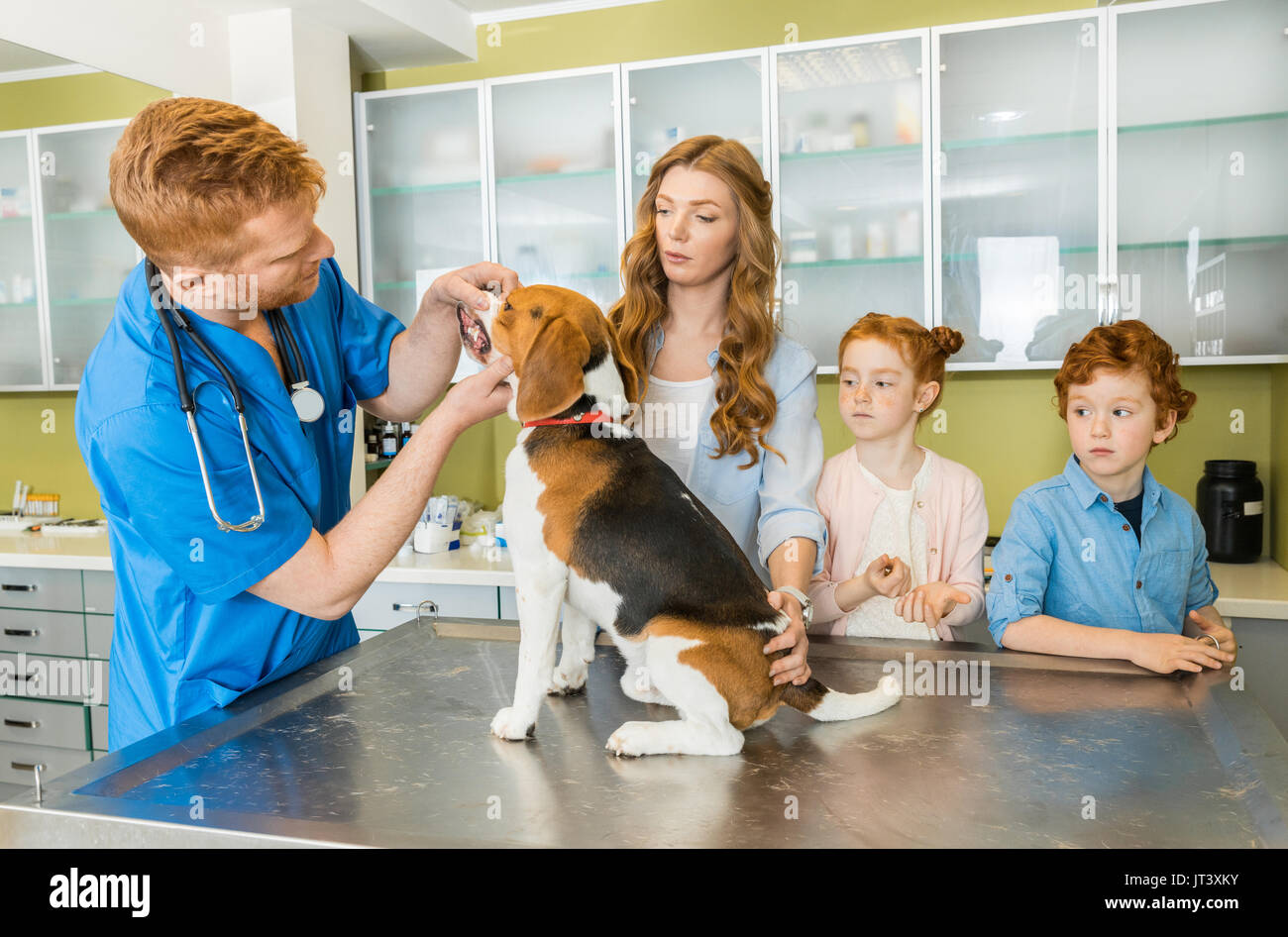 Veterinary examining Beagle dog at clinic, pet owners standing near - Stock Image