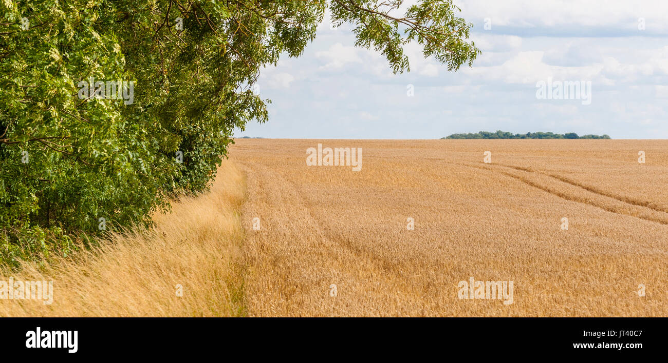 A farmers field of barley which is almost ready for harvesting, showing the field edge and trees in the hedge bottom - Stock Image