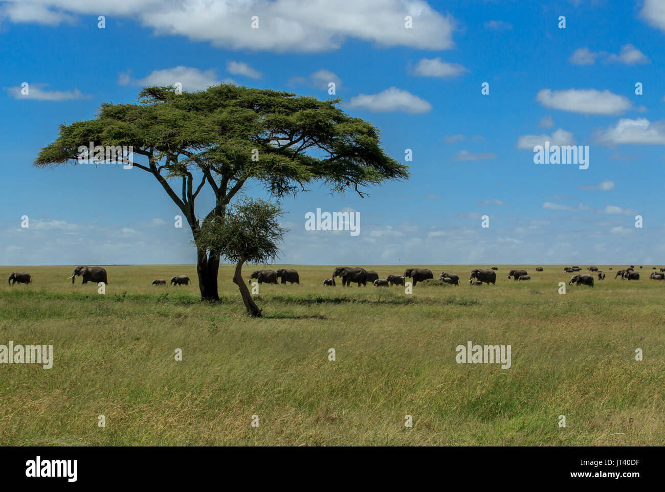 A herd of Elephants grazing in the grasslands of the Serengeti Stock Photo