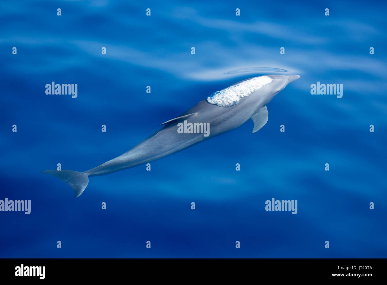 Indo-Pacific Bottlenose Dolphin (Tursiops aduncus) about to surface in the glassy calm sea - Stock Image
