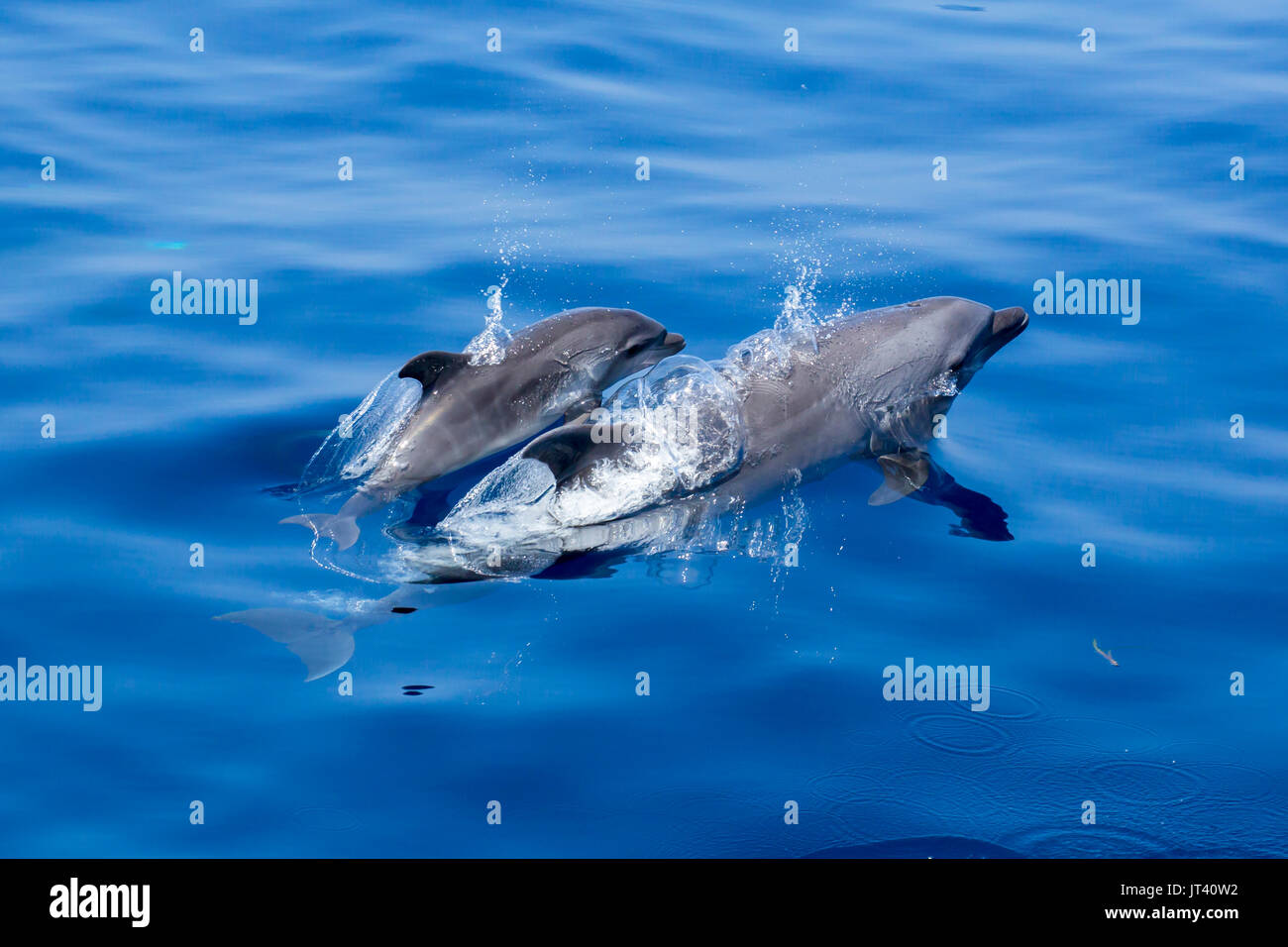 Indo-Pacific Bottlenose Dolphin (Tursiops aduncus) mother and baby surfacing in the glassy calm sea - Stock Image