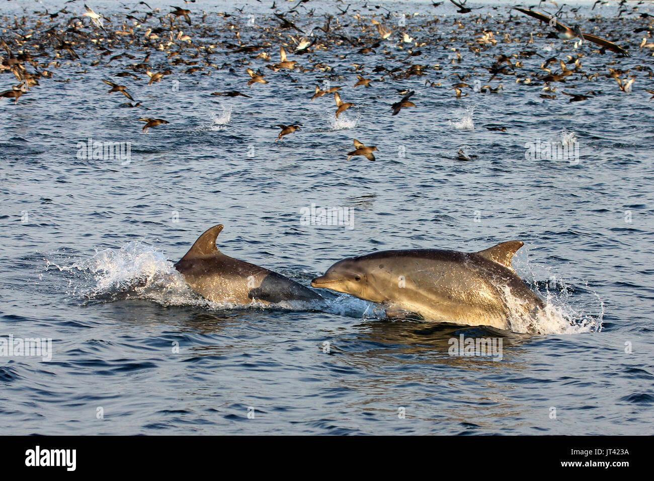 Common Bottlenose Dolphin (Tursiops truncates) at a feeding frenzy off the Fisherman's Wharf of Monterey at sunset - Stock Image