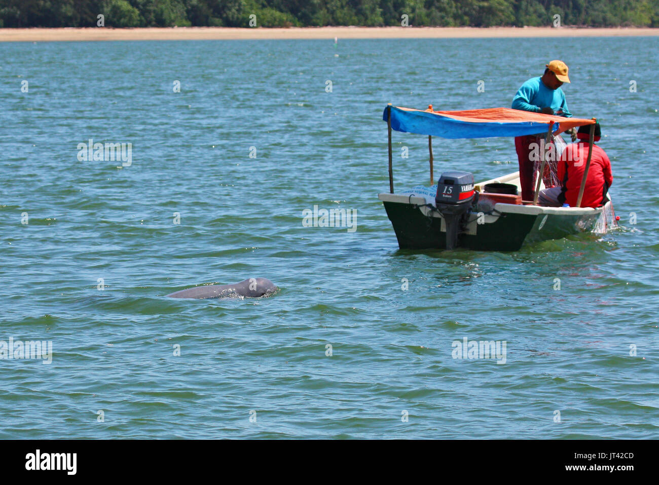 Irrawaddy Dolphin (Orcaella brevirostris) hanging around fishing boats trying to get a free breakfast in the estuarine waters of Santubong, Sarawak - Stock Image