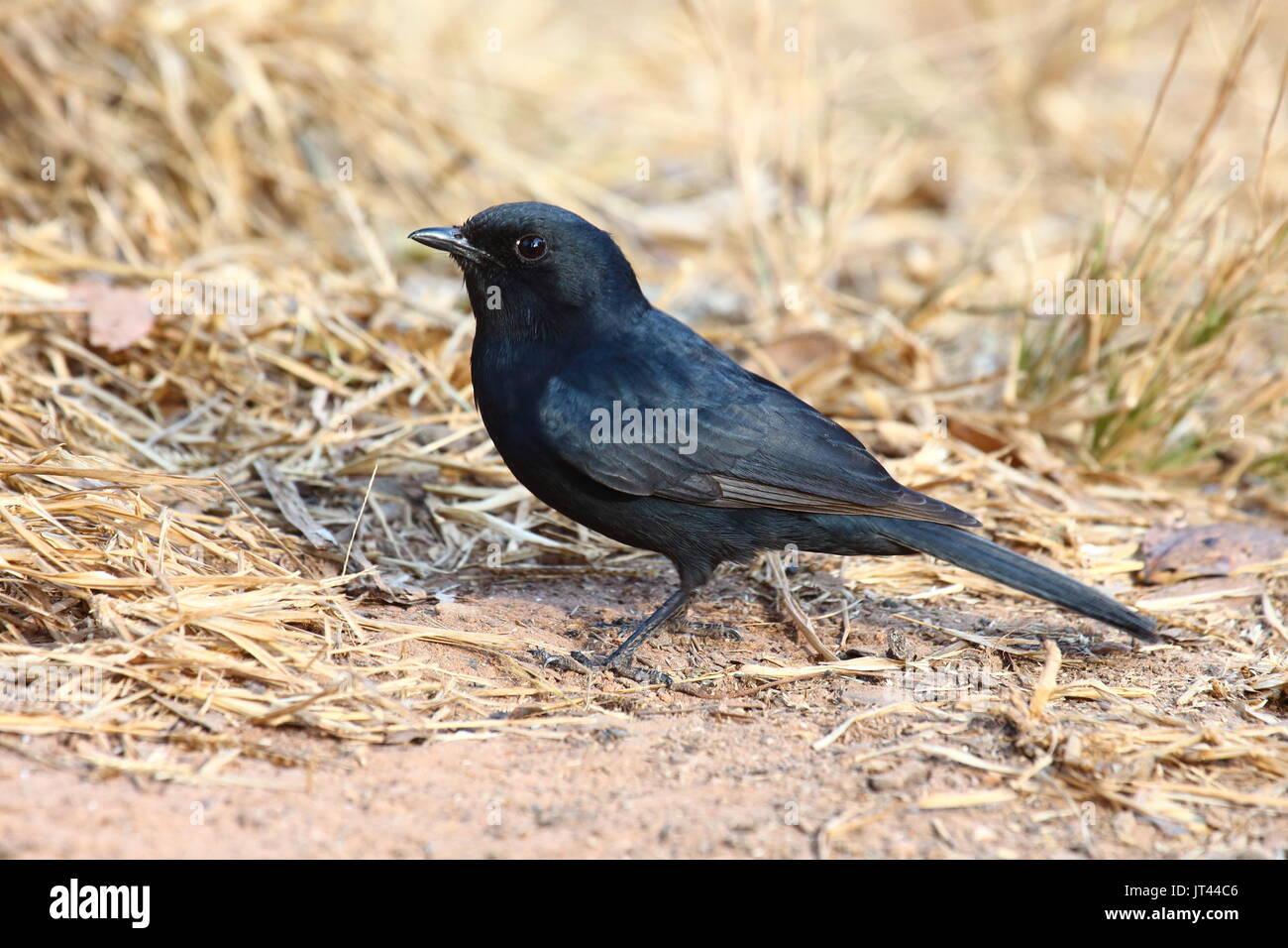Southern Black Flycatcher, Melaenornis pammelaina, Leopard's Hill, Lusaka, Zambia - Stock Image