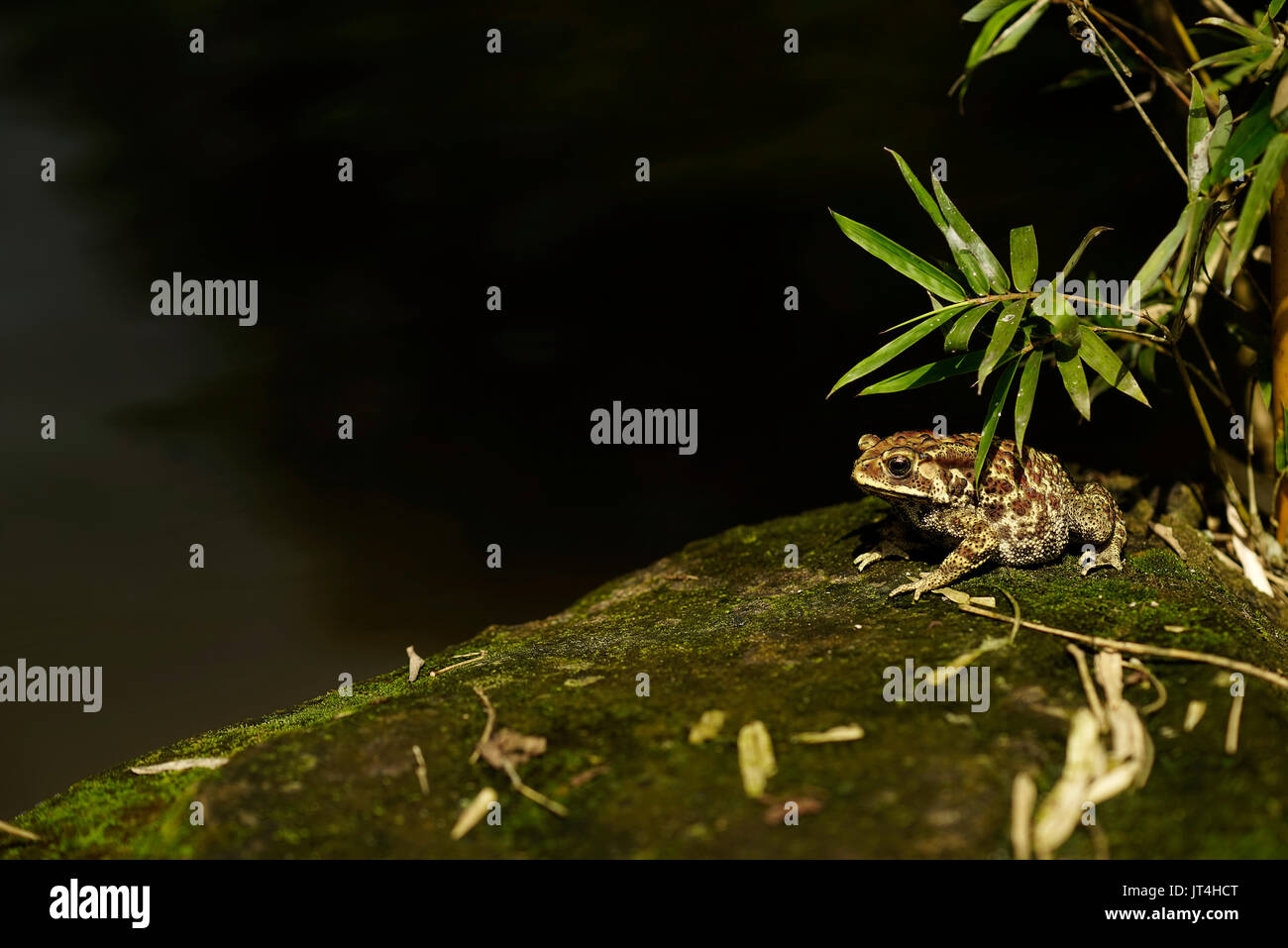 Brown fat frog sitting at the corner of a lake on a rock with green moss underneath leaves during the day. - Stock Image