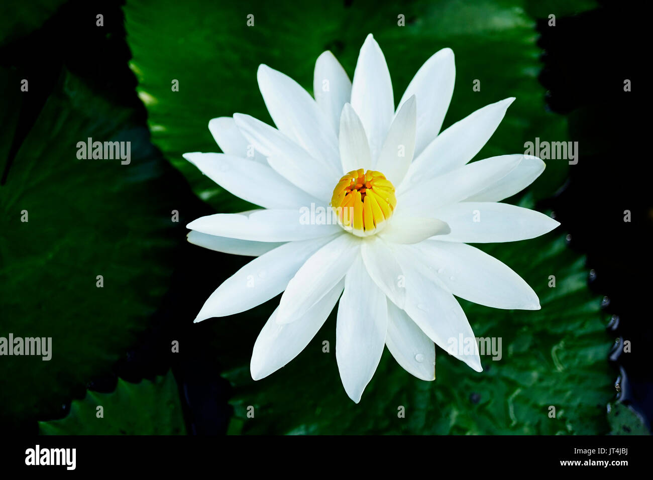 White lotus flower black background stock photos white lotus close up of one open lotus flower with white petals and closed yellow core in izmirmasajfo