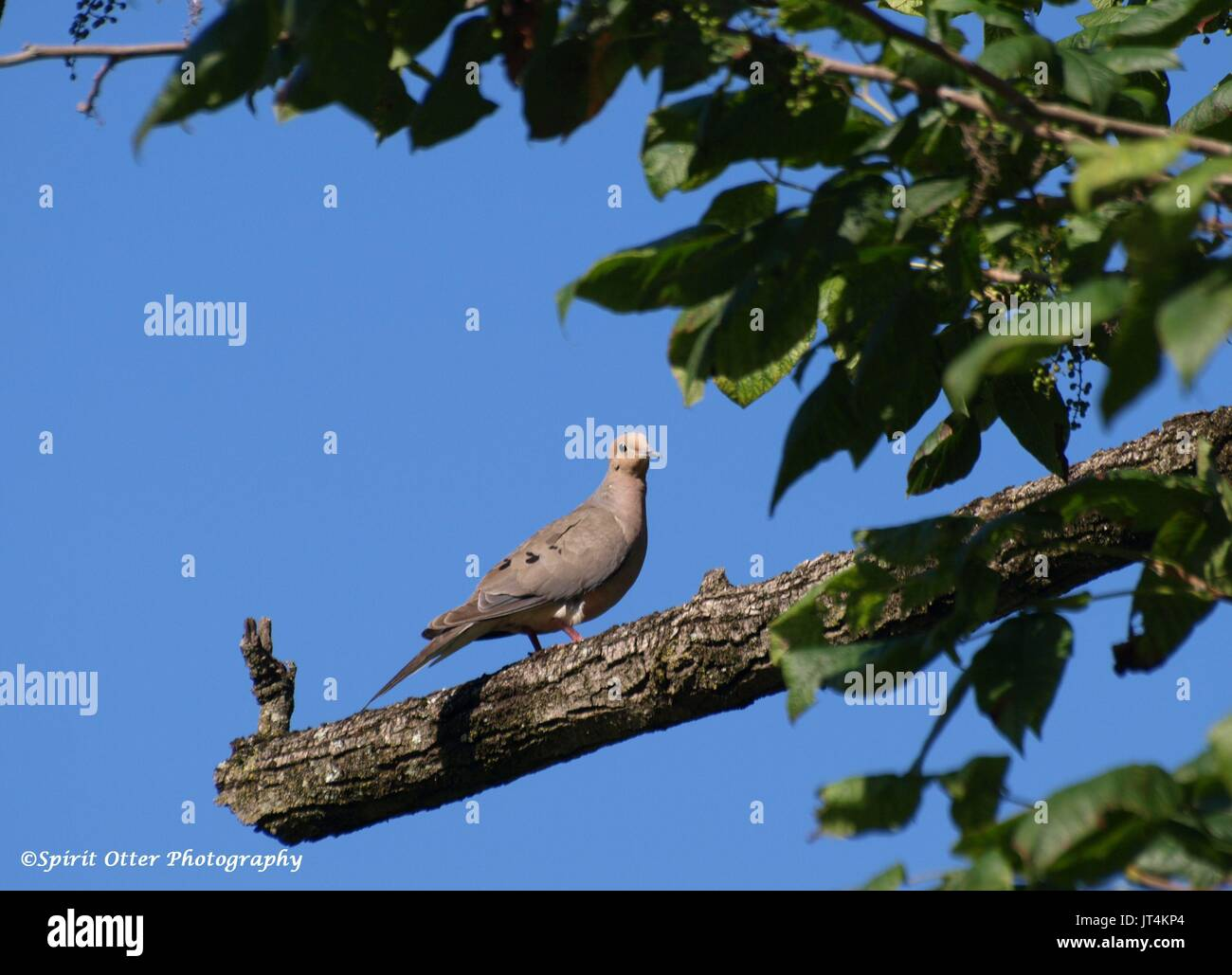 Mourning dove on dead branch - Stock Image