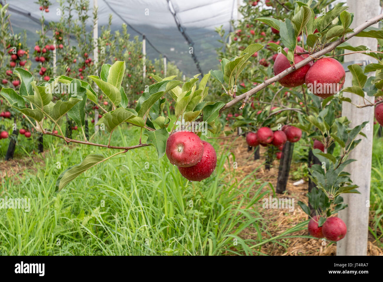 Apples hanging from a tree branch in an apple orchard of South Tyrol countryside, italy. - Stock Image