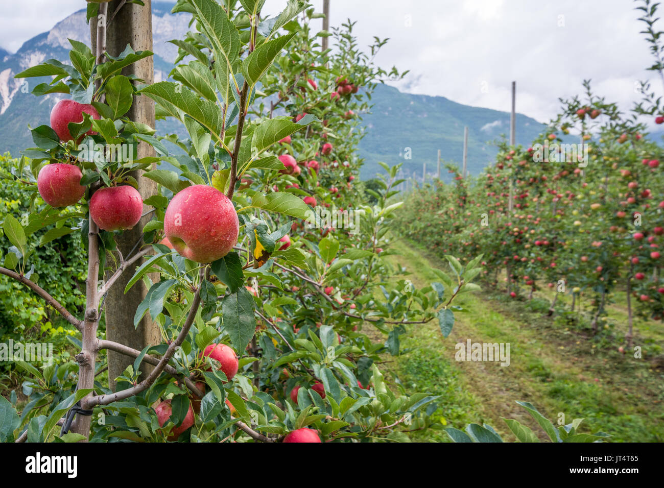 Apples hanging from a tree branch in an apple orchard of South Tyrol countryside, italy. Stock Photo
