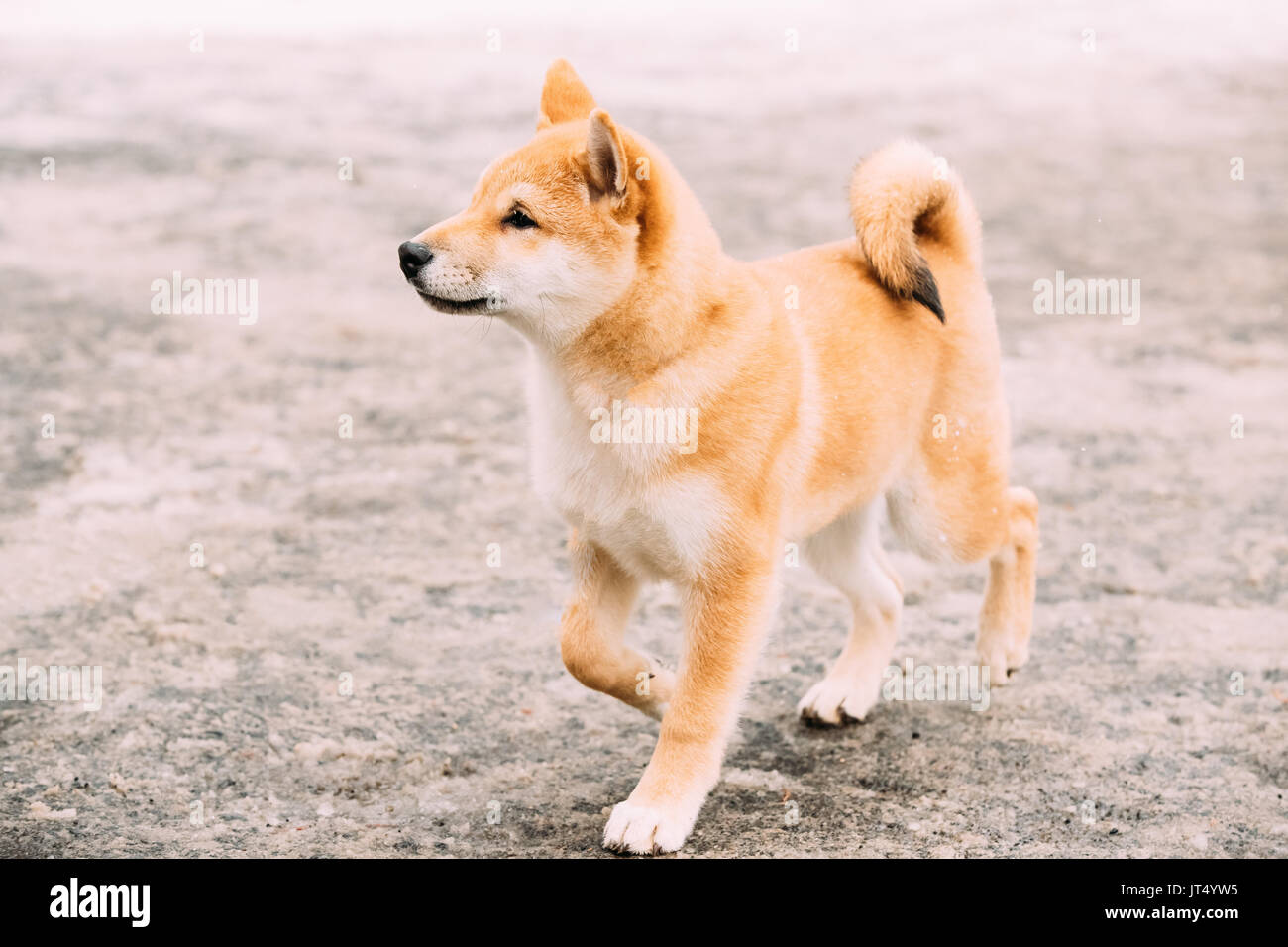 Young Japanese Small Size Shiba Inu Dog Play Outdoor At Winter Day. - Stock Image