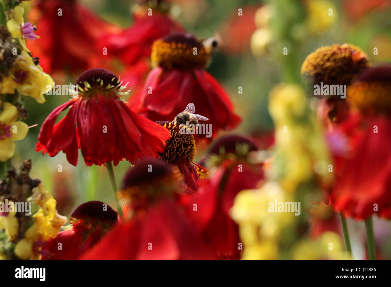 honey bee on red echinacea - Stock Image