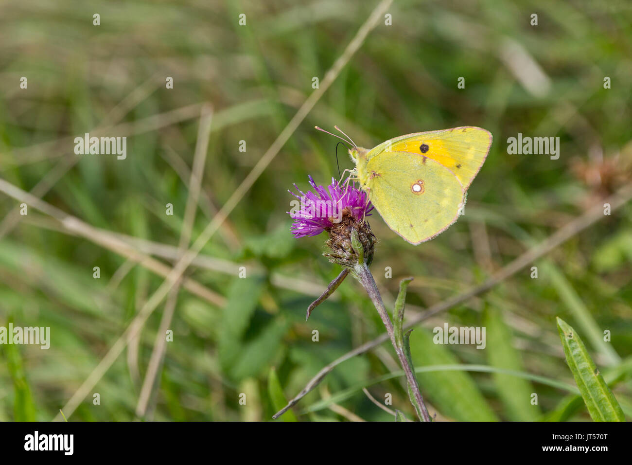Clouded yellow or Colias croceus butterfly in landscape format with copy space on thistle flower head feeding on nector. - Stock Image