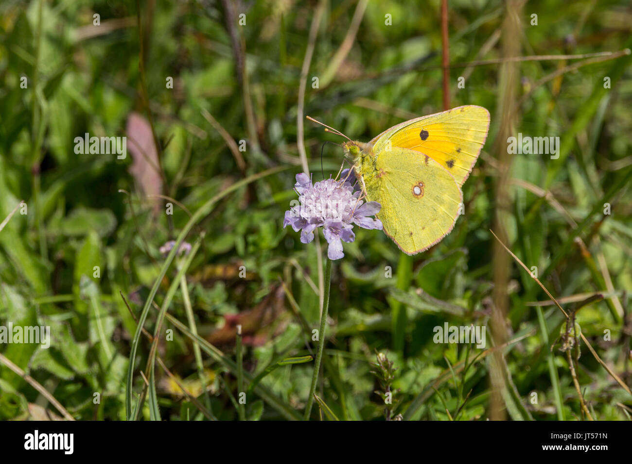 Clouded yellow or Colias croceus butterfly in landscape format with copy space on purple plant feeding on nector - Stock Image