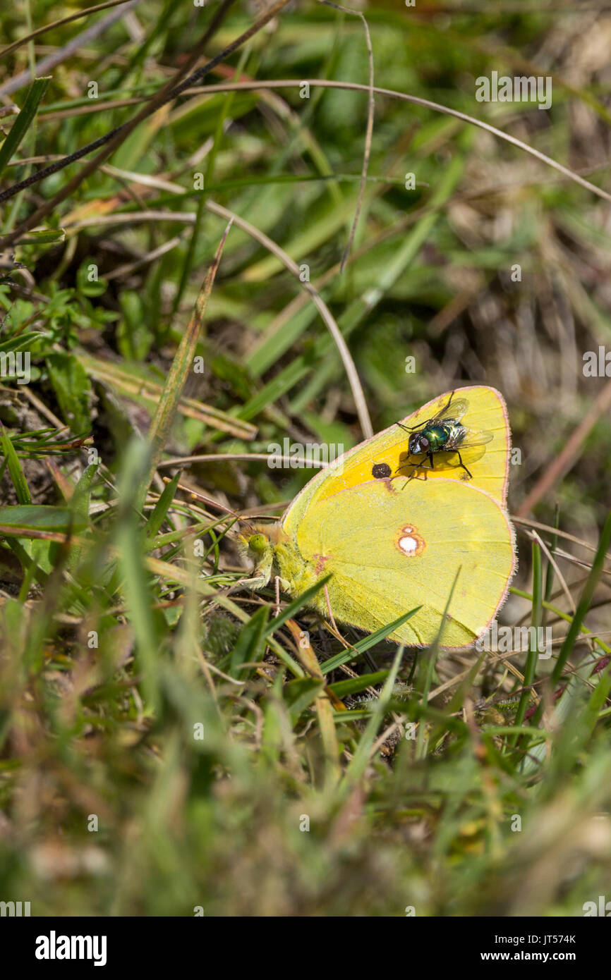 Clouded yellow or Colias croceus butterfly in portrait format with copy space on grass with green bottle fly settled on wing. - Stock Image