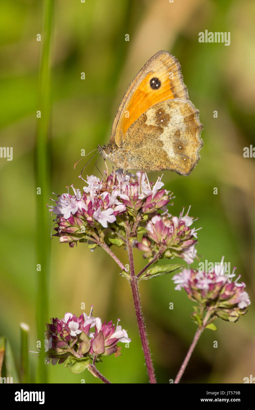 Orange and brown small heath butterfly on purple pinkish wild plants in portrait format with some copy space. Black spot on orange wing tip. - Stock Image