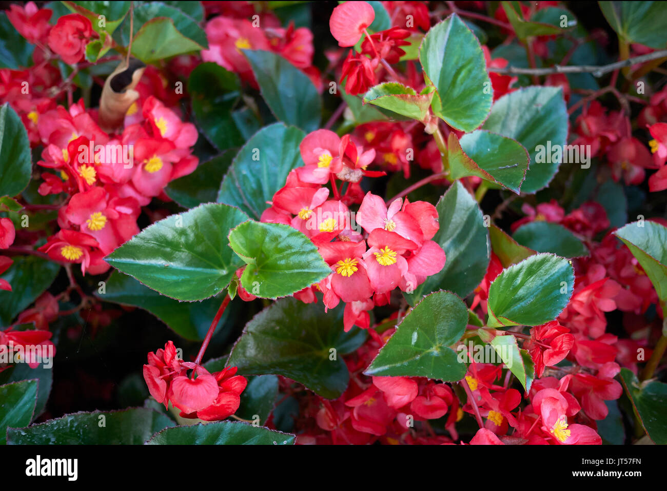 Begonia Bloom Stock Photo 152550377 Alamy