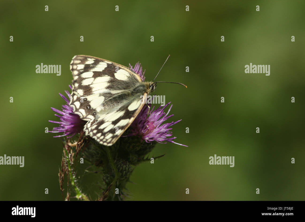 A pretty Marbled White Butterfly (Melanargia galathea) nectaring on a thistle. - Stock Image