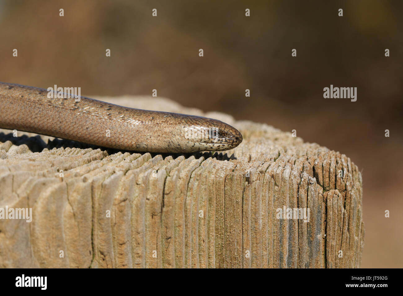 A head shot of a Slow-worm (Anguis fragilis) warming itself in the sun. Stock Photo