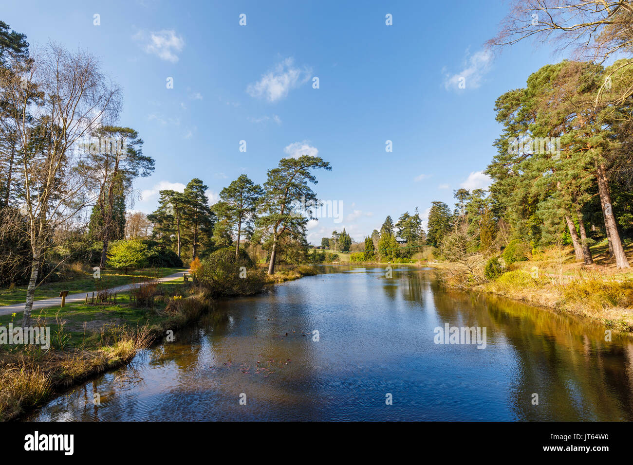Pines and evergreen trees beside Marshall's Lake at Bedgebury National Pinetum, Bedgebury, Kent south-east England on a sunny spring day with blue sky - Stock Image
