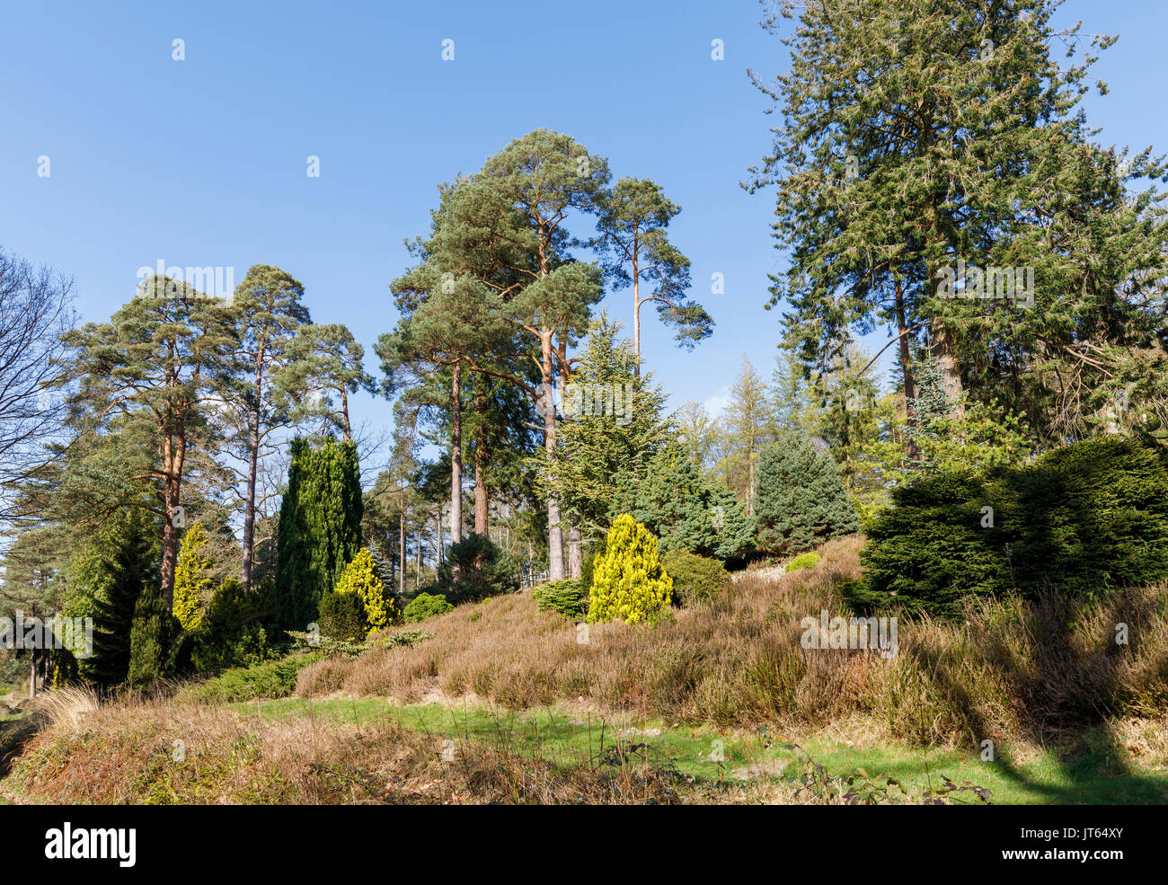 Large, tall pine trees at Bedgebury National Pinetum, Bedgebury, Kent south-east England in spring on a sunny day with clear blue sky - Stock Image