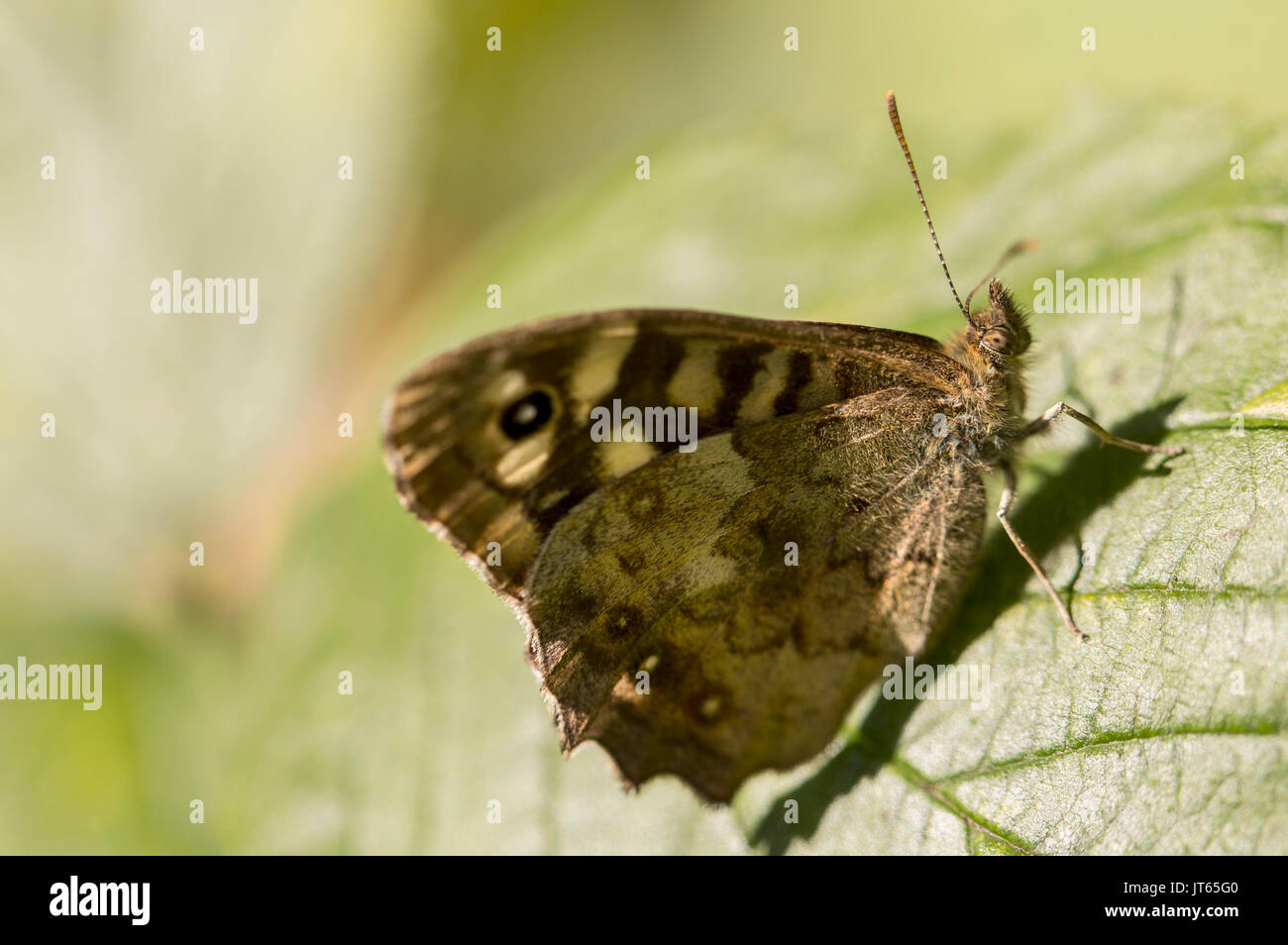 Speckled wood butterfly - Stock Image